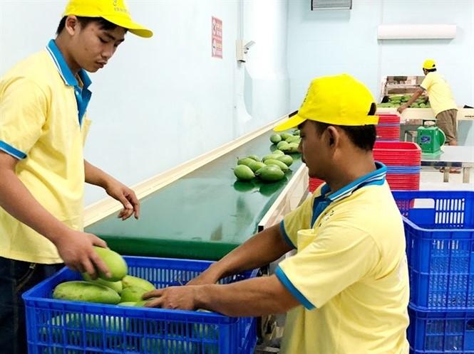 Xoài Việt Nam rộng cửa sang Hàn Quốc