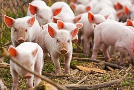 Giá heo hơi hôm nay (12/7): Nam Bộ xuất hiện dịch tả lợn Châu Phi